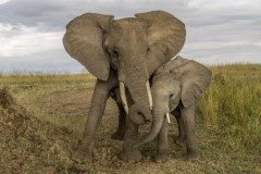 éléphante-dAfrique-et-son-éléphanteau-585x390.jpg