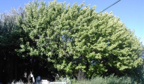 les deux arbres été.jpg